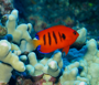 tropical reef fish on Maui - rare flame angel fish