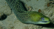 moral eel on maui - undulated moray